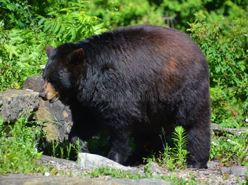 Den americanus amerikanska ursusen för svart björn arkivfoto