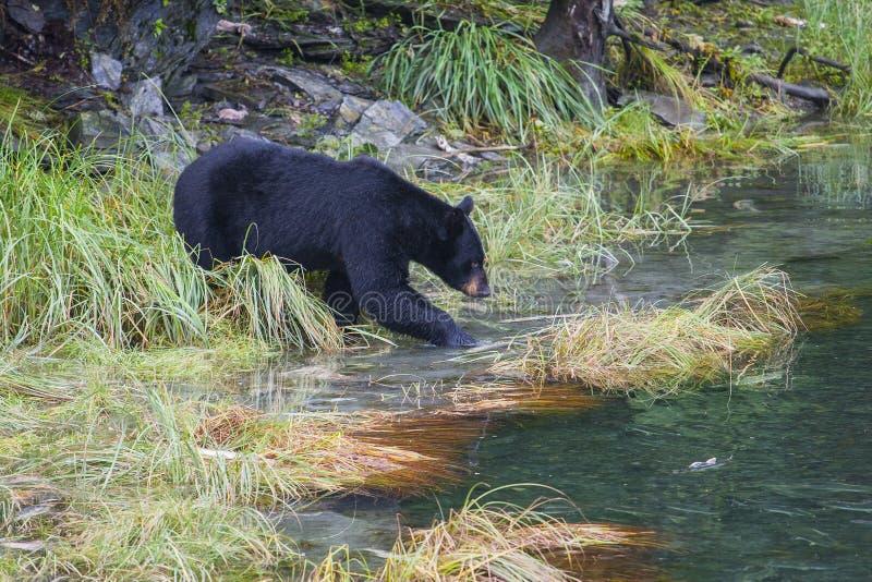 Den americanus amerikanska ursusen för den svarta björnen är en medelstor björninföding till Nordamerika Sökande för mat i litet arkivfoto