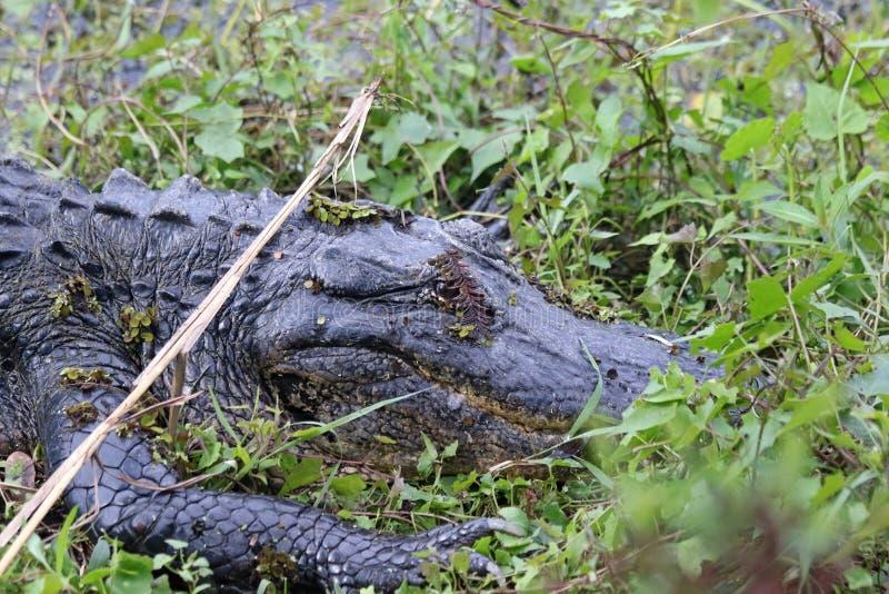 Den amerikanska alligatorn fotografering för bildbyråer