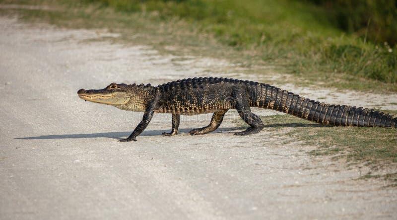 Den amerikanska alligatorn korsar din bana arkivbilder