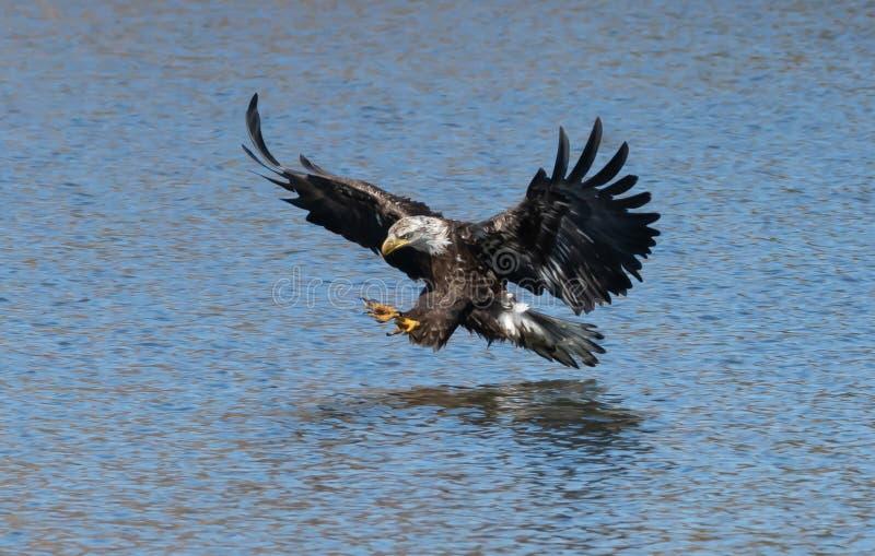 Den amerikanska Bald Eagle är full på två sekunder innan en fisk fångas royaltyfria foton