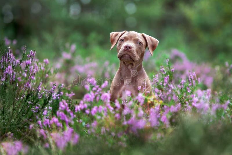Den amerikanska gropbull terrier valpen som poserar i ljung, blommar arkivfoton