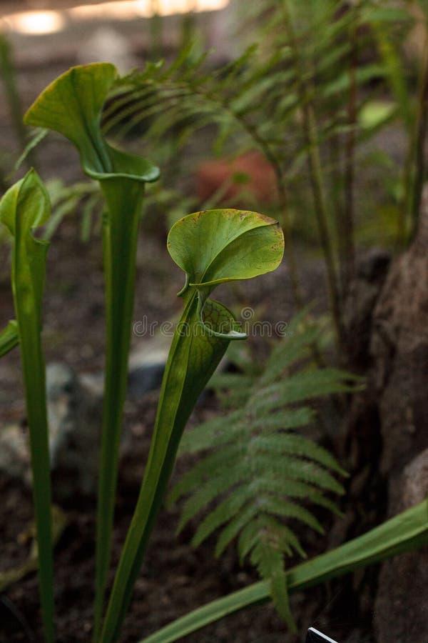Den amerikanska kannaväxten, Sarracenia, är en köttätande växt royaltyfria foton