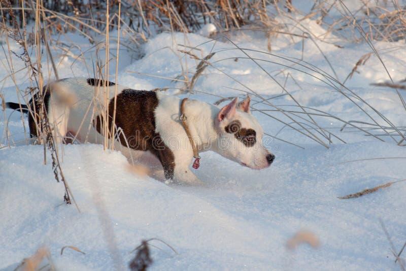 Den amerikanska staffordshire terriervalpen går på vit snö Älsklings- djur royaltyfri fotografi