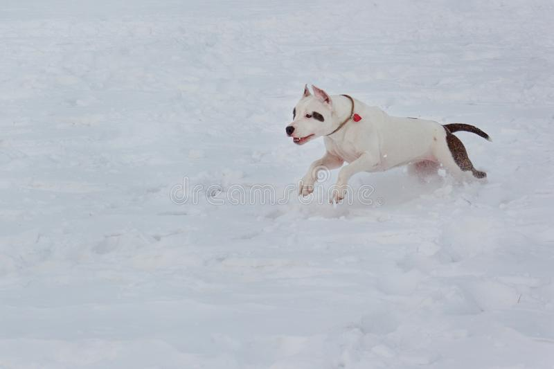 Den amerikanska staffordshire terriervalpen kör på vit snö Älsklings- djur royaltyfria bilder