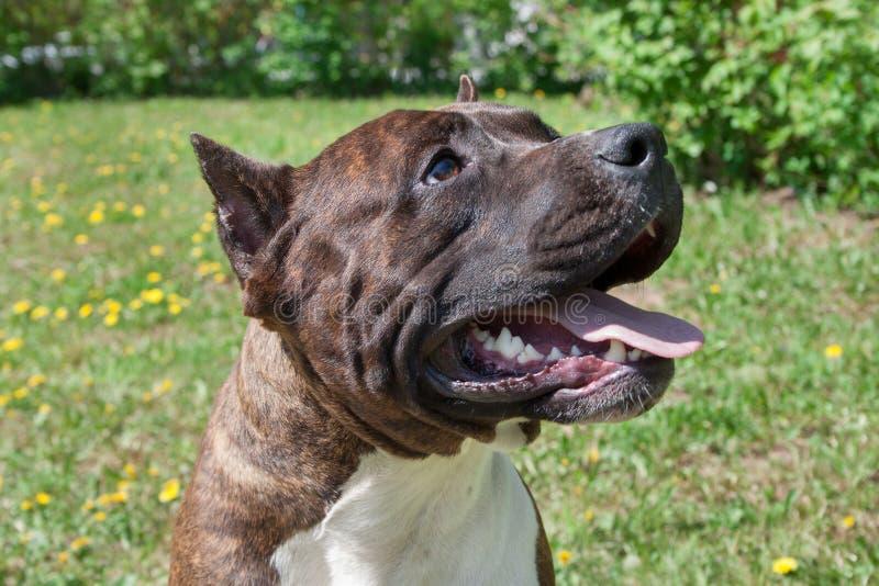 Den amerikanska staffordshire terriervalpen står med att stå och hänga tungan close upp royaltyfri foto