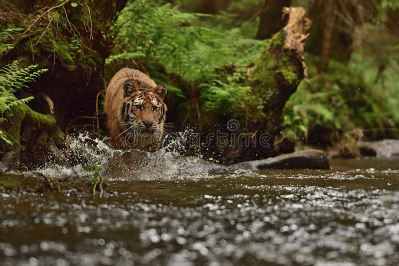 Den Amur för Siberian tiger tigern - Pantheratigris altaica royaltyfri foto