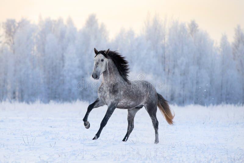 Den Andalusian hästen galopperar i vinter arkivfoton