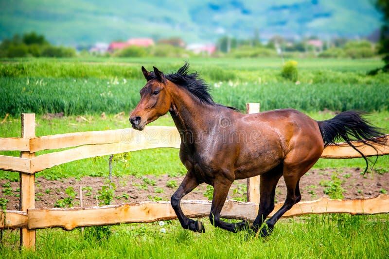 Den Anglo arabiska hästen som springa omkring i vilt tillstånd och, frigör i sommartid royaltyfria foton