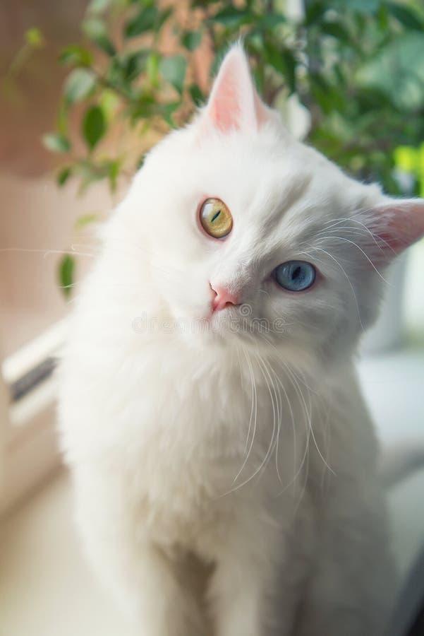 Den angora- vita katten med blått och guling synar sammanträde på fönsterfönsterbräda och att se nyfiken arkivfoton