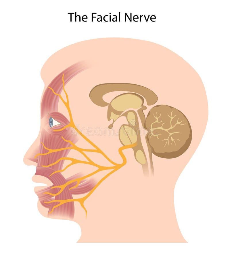 Den ansikts- nerven royaltyfri illustrationer