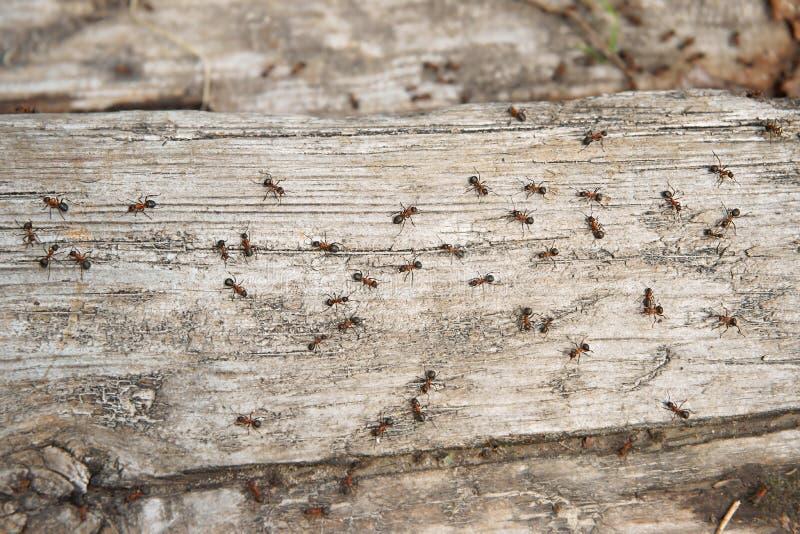 Den Ant Formica rufaen, också som är bekant som den röda Wood myran, sydlig Wood myra eller hästmyra, är en boreal medlem, fotomy arkivfoto