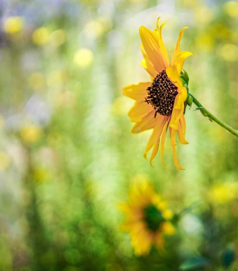 den anzaborregoKalifornien öknen blommar wild vildblommar för parktillstånd arkivfoto