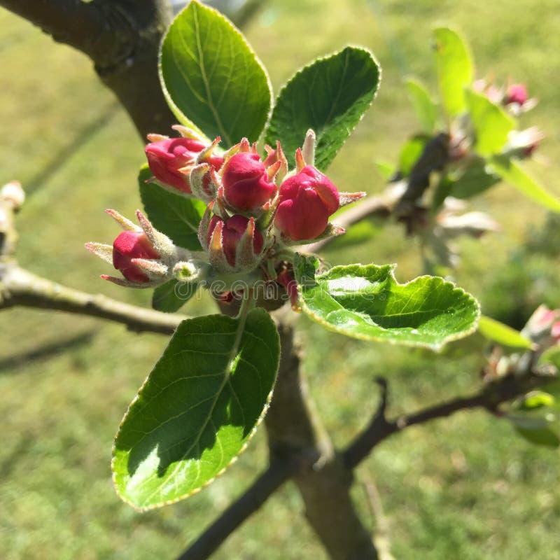 Den Apple blomman kan in royaltyfria bilder