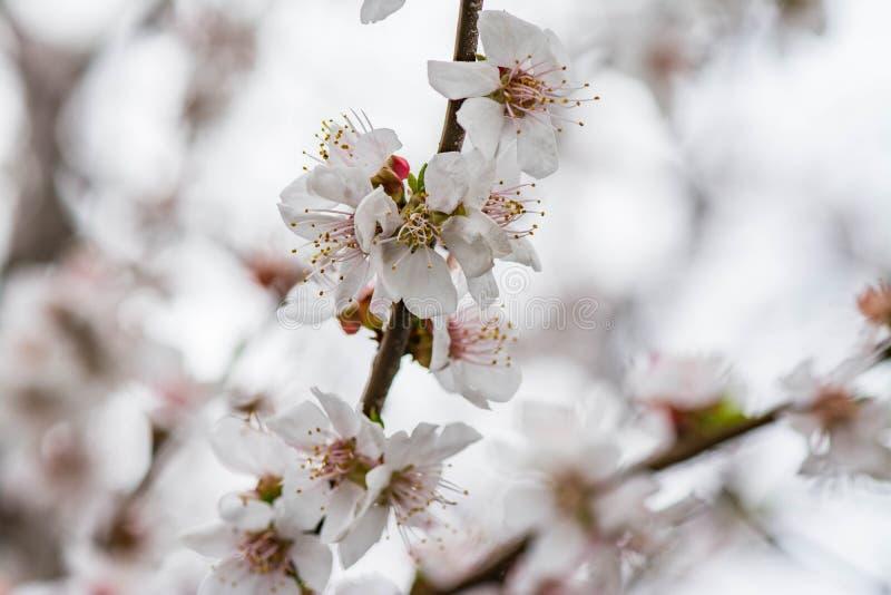 Den Apple blomningen blommar i våren som blommar på ung trädfilial arkivfoto