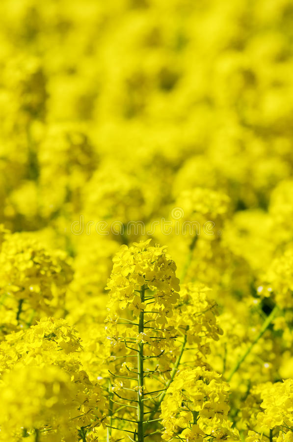 den april blomningbilden våldtar takes arkivbild