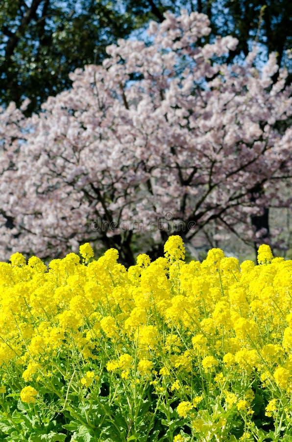 den april blomningbilden våldtar takes arkivfoton
