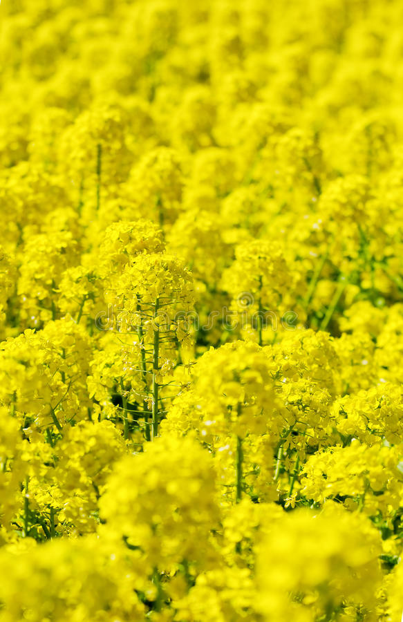 den april blomningbilden våldtar takes fotografering för bildbyråer