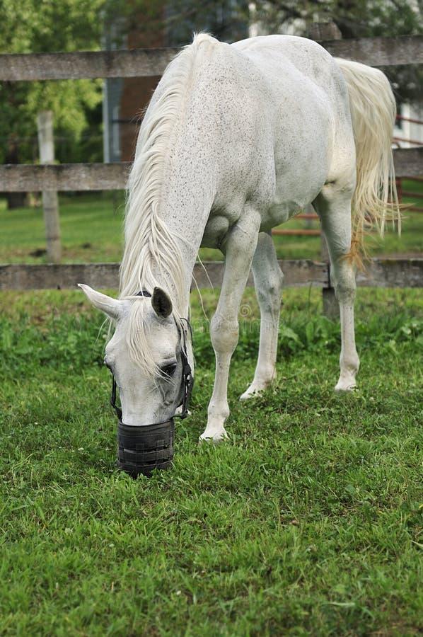 Den Arabiska Betande Hästen Tystar Ned Arkivbilder