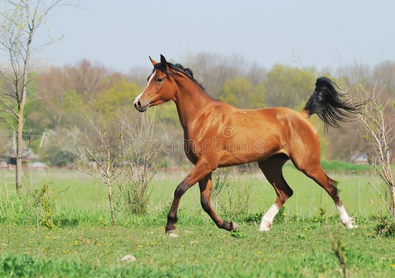 den arabiska hästen betar runningtrav arkivfoto