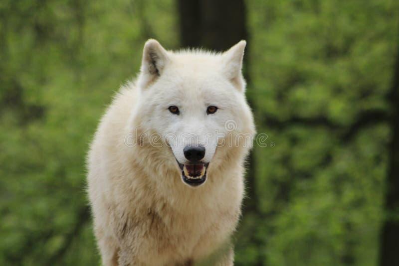 Den arktiska vargen ser in i kameran arkivbilder