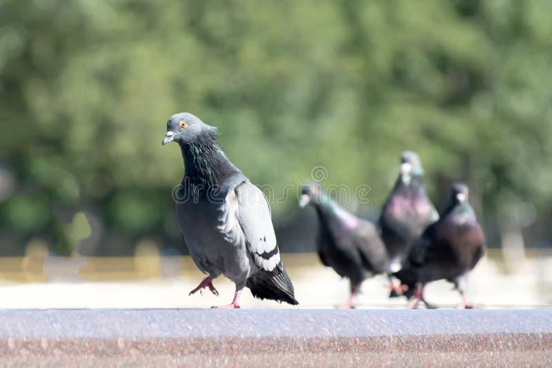Den arroganta duvafågeln som går på en springbrunnkant, och andra sköter honom royaltyfria bilder