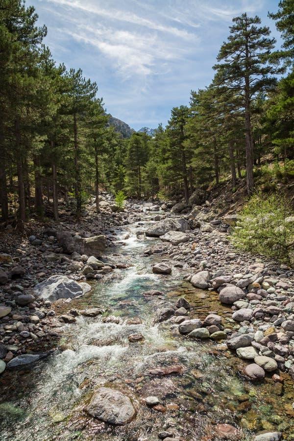 Den Asco floden i Korsika med sörjer träd och snöar det dolda berget arkivbild