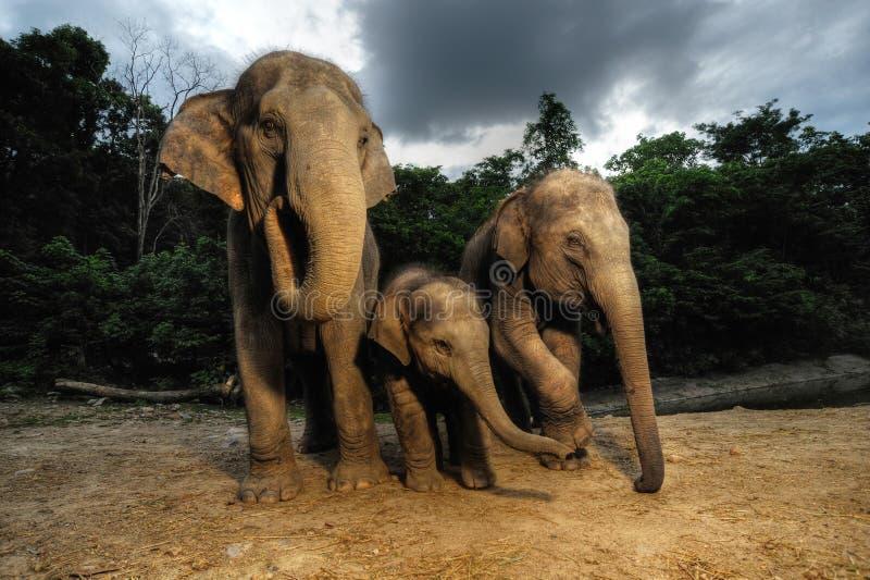 Den asiatiska elefanten royaltyfria foton