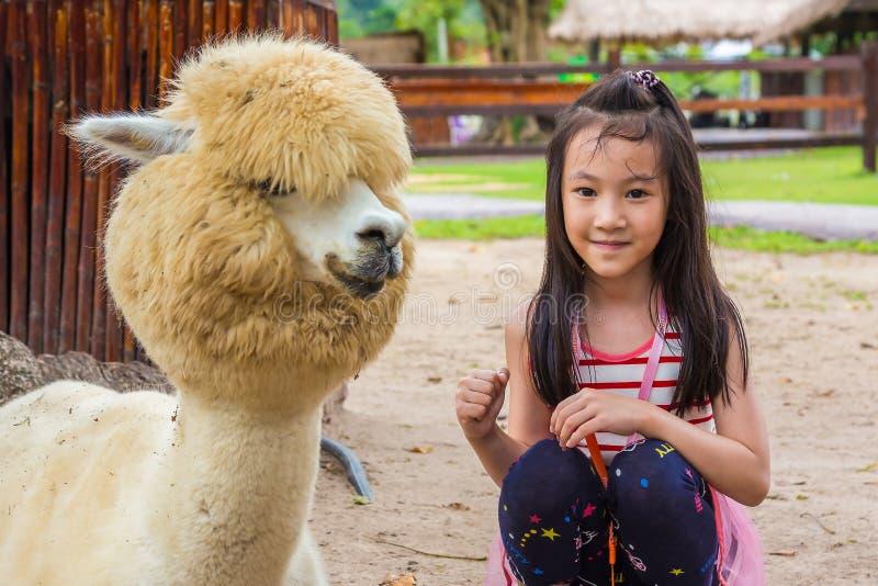 Den asiatiska lilla flickan som tar ett foto med alpaca i, parkerar, barnloppet i zoo för att tycka om alpacaen i sommar arkivbild