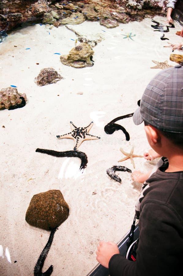 Den asiatiska ungen tycker om den rörande sjöstjärnan och havsgurkan i den Inoh behållaren royaltyfri foto
