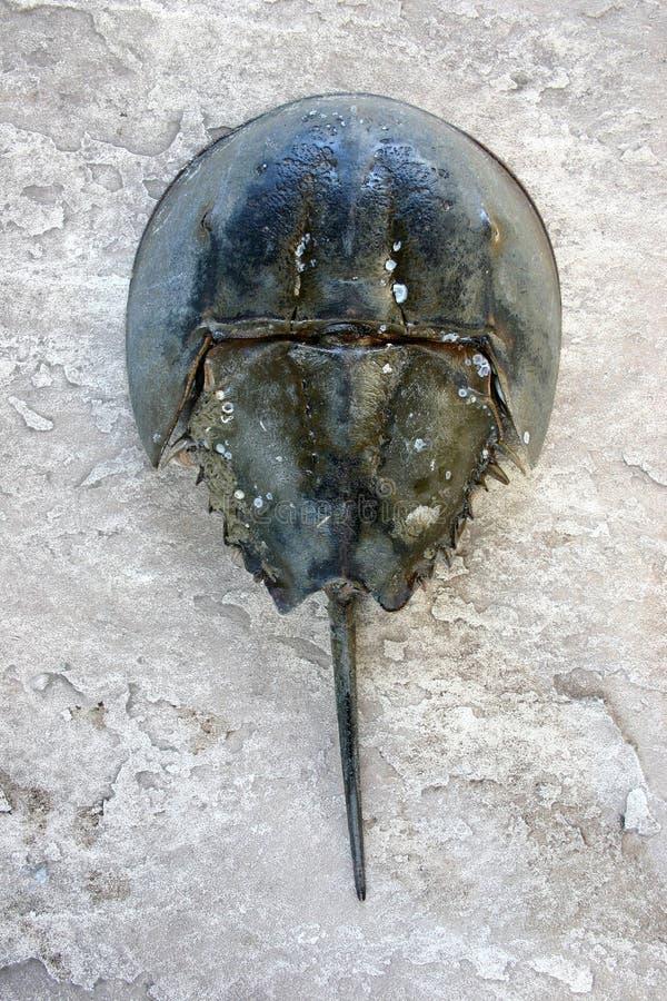 Den atlantiska hästskokrabban, Limuluspolyphemus, är en marin- che arkivbild