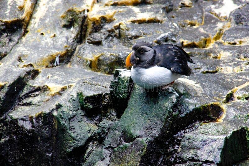 Den atlantiska lunnefågeln som sitter på, vaggar royaltyfri fotografi