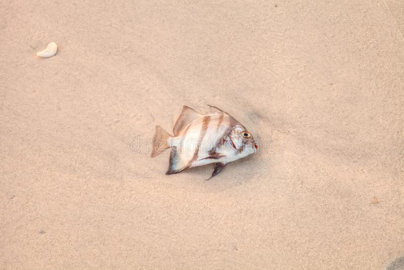 Den atlantiska spadefishchaetodipterusen faber dog i rött tidvatten arkivbild