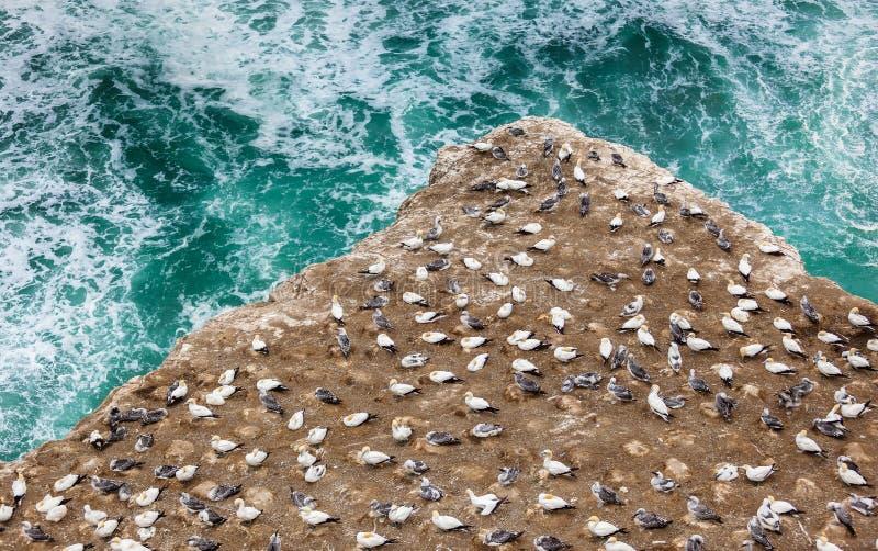Den Australasian havssulakolonin royaltyfria bilder