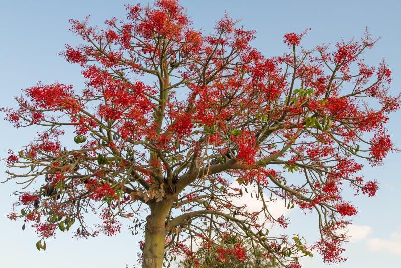 Den australiska Brachychitonacerifoliusen som gemensamt är bekant som det Illawarra flammaträdet royaltyfri bild