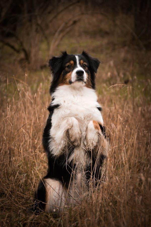Den australiska herdehunden tigger i vass royaltyfria bilder