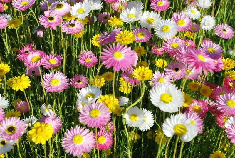 Den australiska infödda Papper-tusenskönan blommar i guling, rosa färger och vit royaltyfri foto