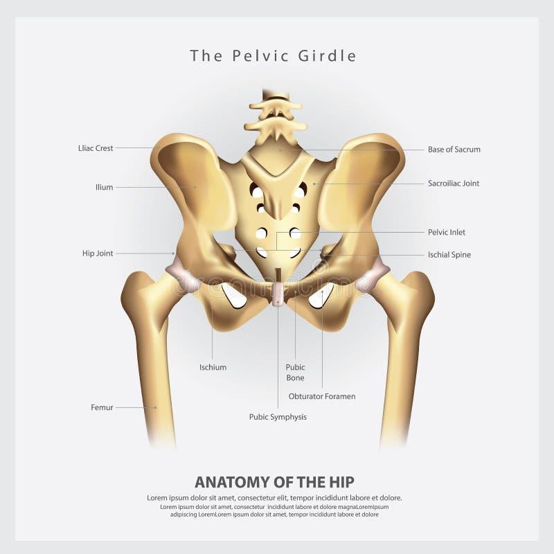 Den bäcken- gördelen av mänsklig höftbenanatomi stock illustrationer