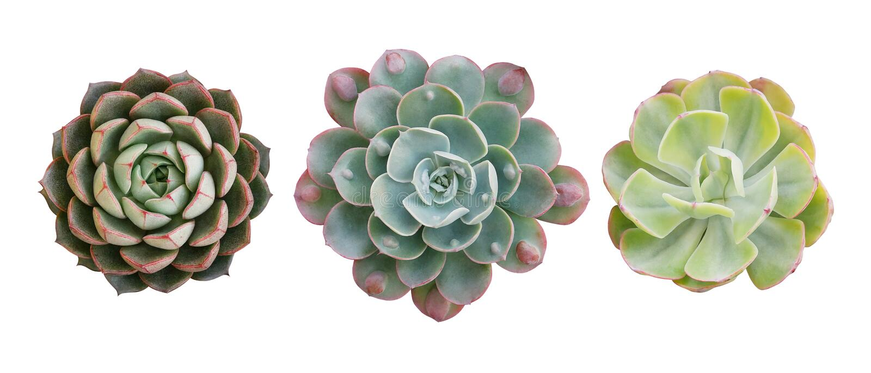 Den bästa sikten av suckulenta växter för den lilla inlagda kaktuns, ställde in av tre olika typer av Echeveria suckulenter inklu royaltyfri fotografi