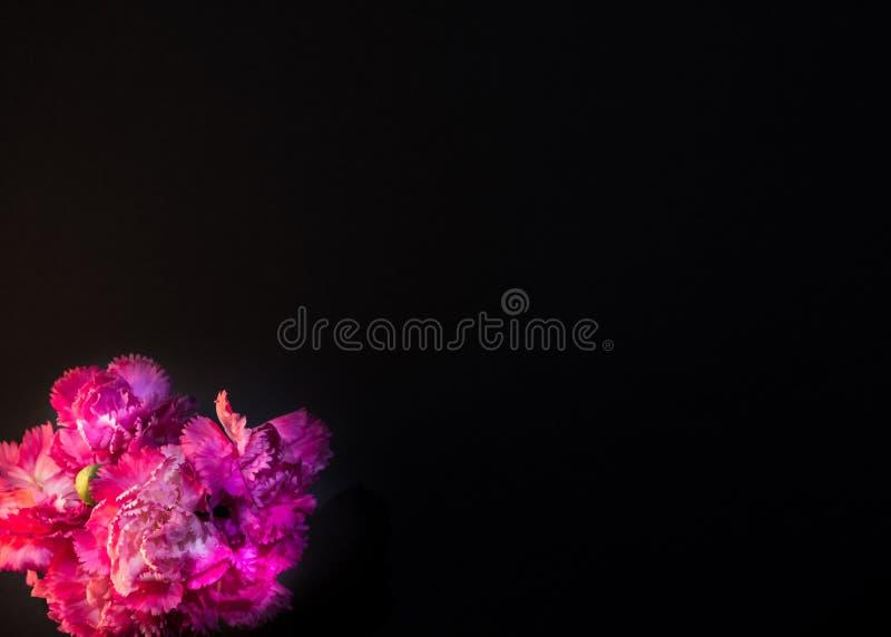 Den bästa sikten och stänger sig upp bild på härlig ljus rosa nejlika med svart bakgrund royaltyfri bild