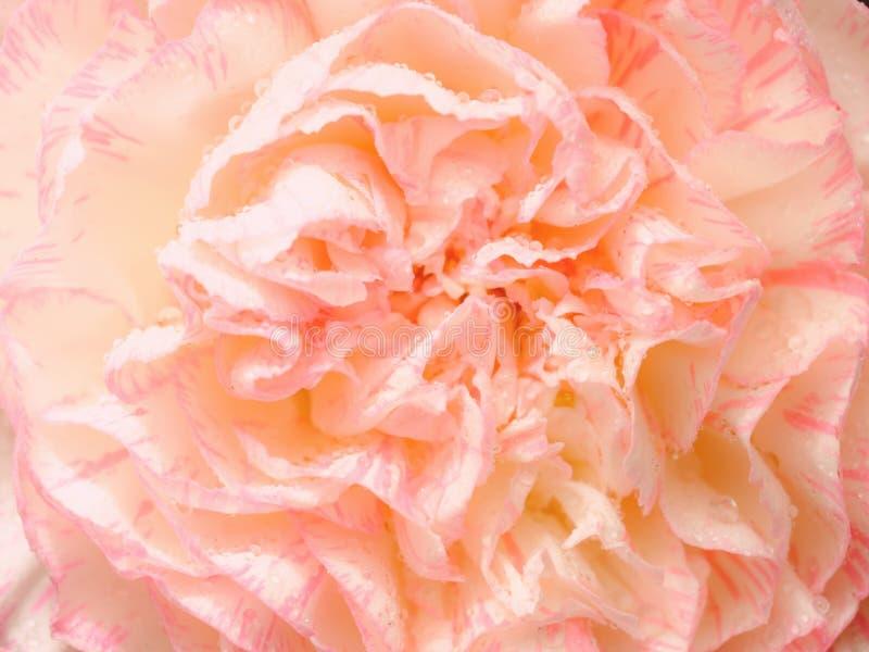 Den bästa sikten och stänger sig upp bild på rosa nejlika på svart backgroun royaltyfri bild