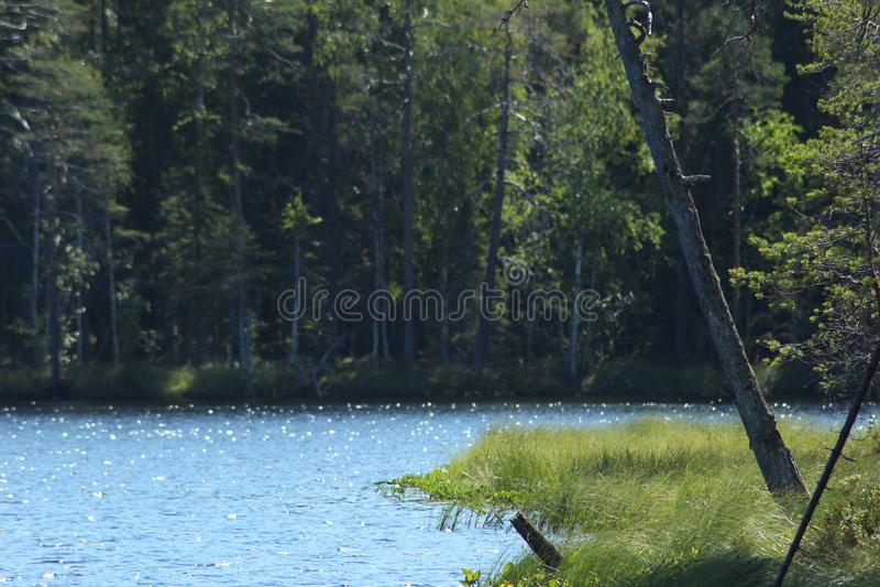 den bakgrundsbaikal laken sörjer treen Skog sjöbakgrund royaltyfri fotografi