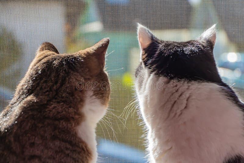 Den bakre sikten av två svartvita vuxna unga katter och strimmiga katten sitter tillsammans på en fönsterbräda och ser till och m royaltyfria bilder