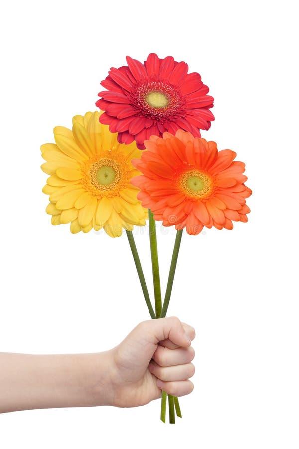 Den barnhanden som rymmer gerberas, blommar arkivfoton