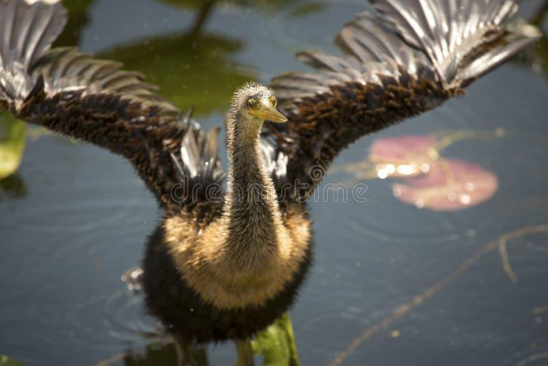 Den barnsliga anhingaen står med vingar som är utbredda i Florida ` s Evergl royaltyfria foton