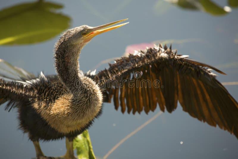 Den barnsliga anhingaen står med vingar som är utbredda i Florida ` s Evergl arkivbild