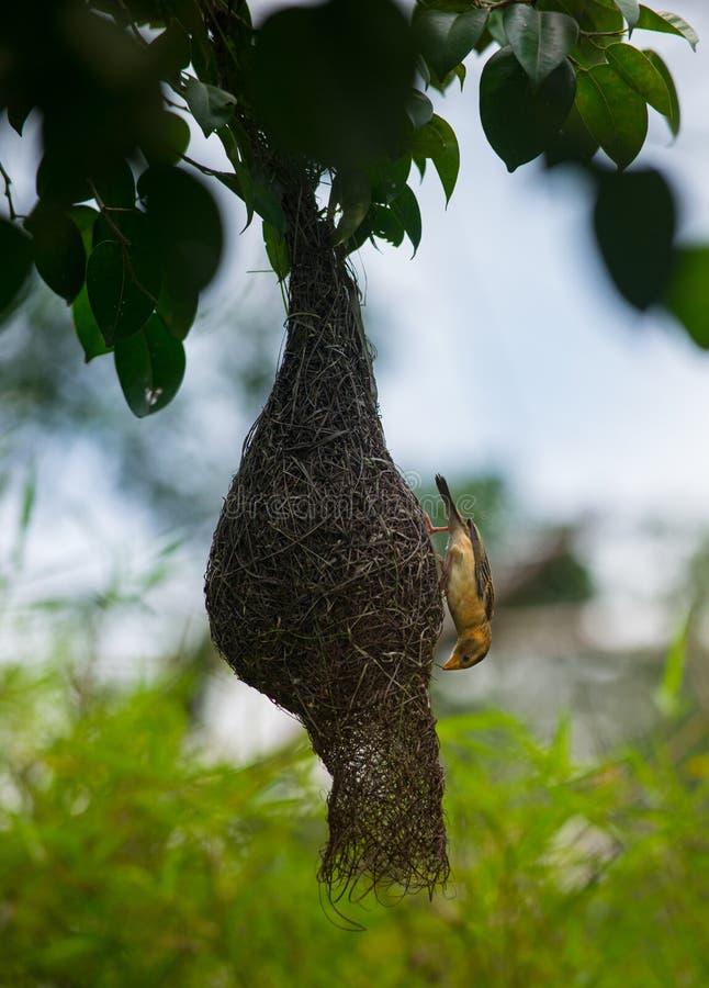 Den Baya vävaren, Ploceusphilippinusfågeln som väver det, är redet arkivfoton