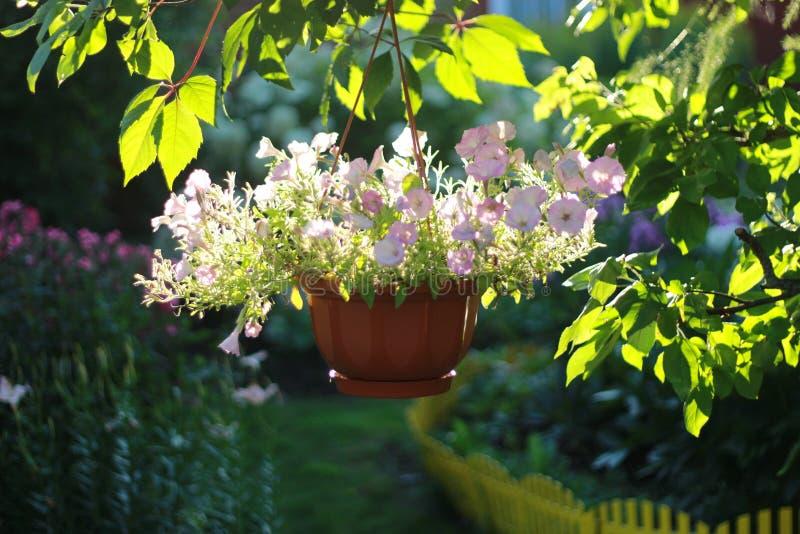 Den Beautifully dekorerade trädgårds- hängande korgen av rosa färgblommor tände försiktigt vid solen royaltyfria bilder