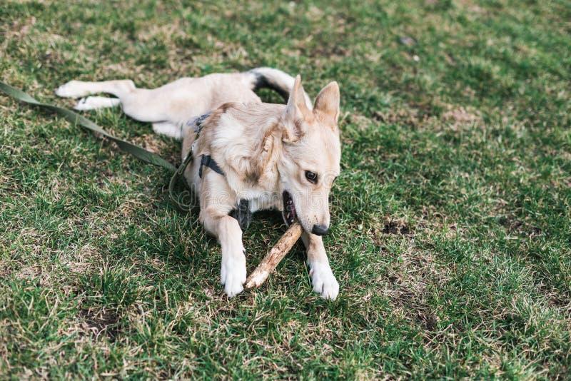 Den beigea hunden som är skrovlig knaprar en pinne fotografering för bildbyråer