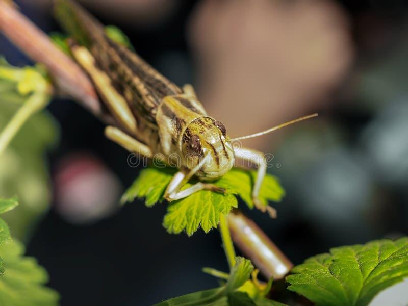Den beigea svarta gräshoppan, på ett grönt blad, fotograferade tätt royaltyfri foto